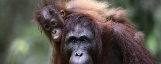 RSF Orangutan