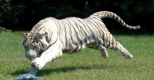 Royal White Bengal Tiger ~ ©Rare Species Fund