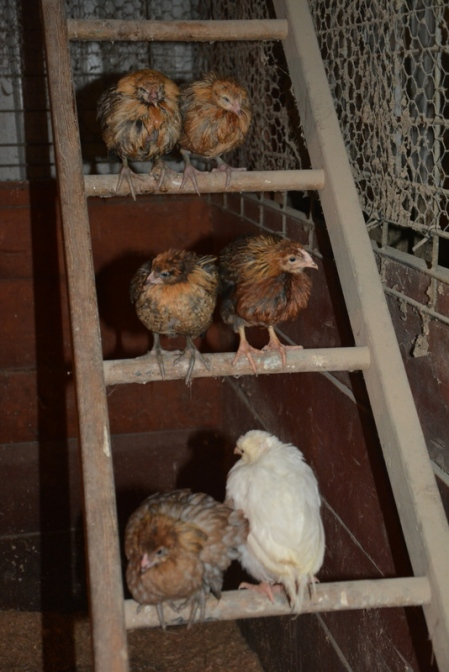 Chickens2018-04-21 13.50.47