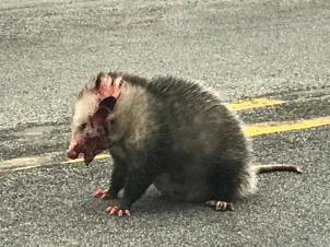 Opossum_9039-001